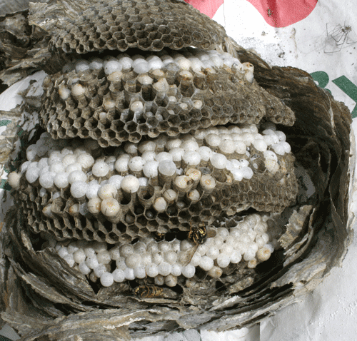 Interior structure of a wasp nest