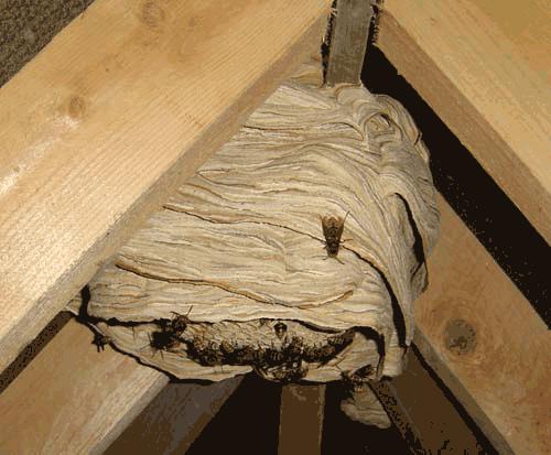 hornet nest hornet life cycle