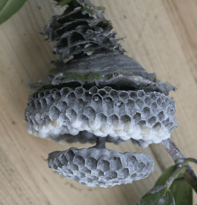 Inside view of a wasp nest
