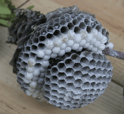 Inside of a wasp nest