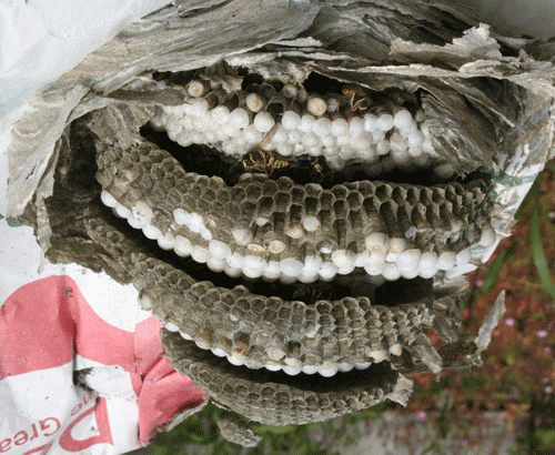 Layered structure of a wasp nest