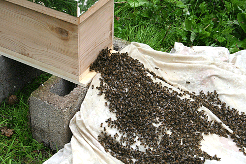 Honey bee swarm being rehomed