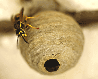 Wasp nest in spring