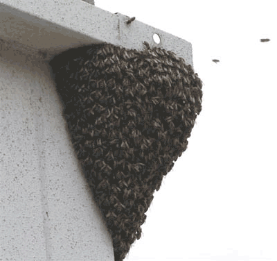 Bees swarming at nest entrance
