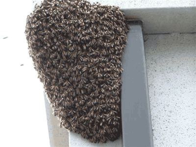 Bees swarming around entrance to nest