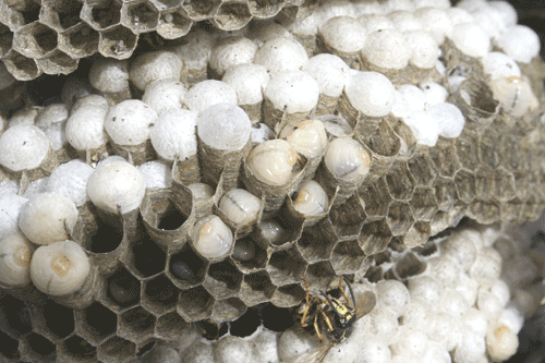 Wasp larvae contained within brood cells