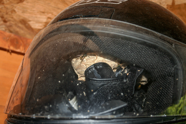 Common wasp nest in a crash helmet