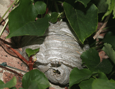 Wasp & hornet nest control Hampshire