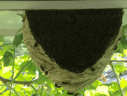 Interior of a wasp nest