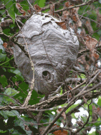 how to get rid of wasp nest sydney