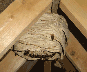 Wasp control in Andover Hampshire, get rid of your wasp nest today